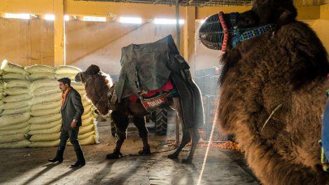 Dentro de un festival de lucha de camellos turcos